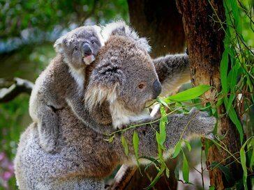 Коали в Австралия